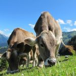 7 Popular Cattle Breeds in the U.S.